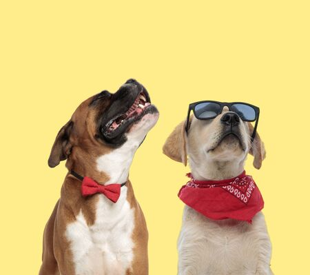 cute boxer dog howling in pain next to a cool labrador retriever dog posing with attitude on yellow background