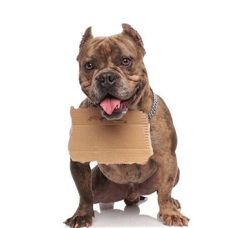 cute american bully wearing silver collar, holding cartoon, panting and sticking out tongue, sitting isolated on white background, full body