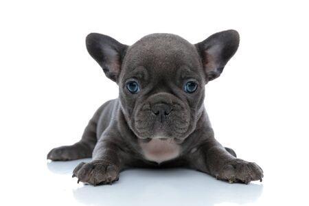 Pflichtbewusstes französisches Bulldoggenjunges freut sich beim Auflegen auf weißem Studiohintergrund