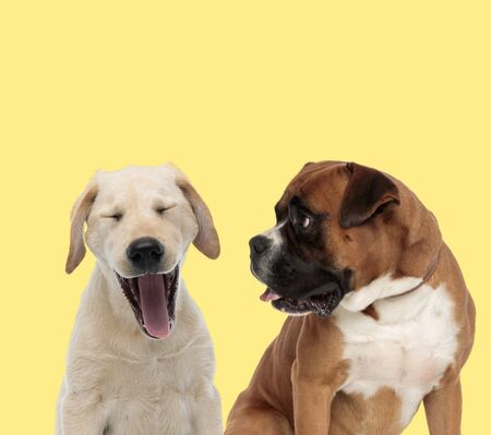 cute Labrador Retriever dog yawning tired next to boxer dog looking aside happy on yellow background