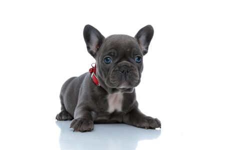 Focused French bulldog cub looking forward and being dutiful while wearing a red collar and laying down on white studio background