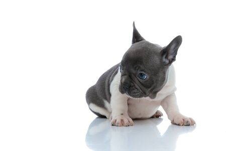 Eager French bulldog cub curiously looking to the side while sitting on white studio background