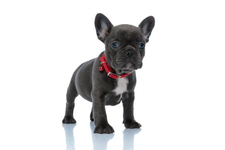 Upset French bulldog cub looking away and frowning while wearing a red collar and standing on white studio background