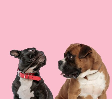 team of french bulldog and boxer wearing red collar and panting on pink background Stock Photo