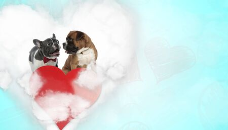 cute french bulldog dog panting happy next to a boxer dog looking with love at him above heart on blue background Stock Photo
