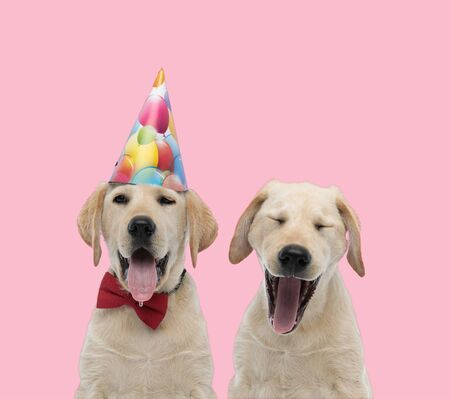 team of two labradors retriever wearing birthday hat and bowtie, sticking out tongue and yawning on pink background
