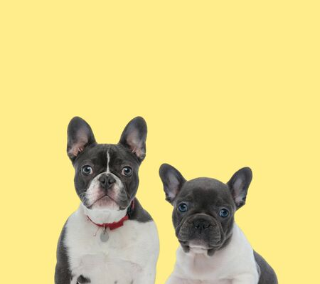 adorable mature french bulldog dog wearing red leash next to a baby french bulldog dog looking at camera on yellow background