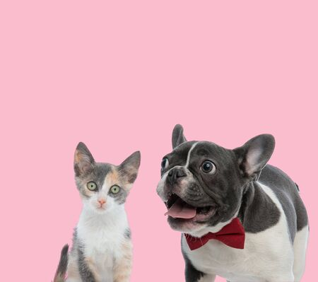 team of metis cat and french bulldog panting on pink background Stock Photo