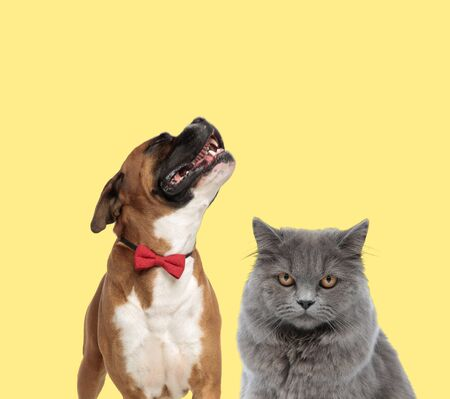 cute boxer dog howling in pain next to a british longhair cat looking at camera mad on yellow background