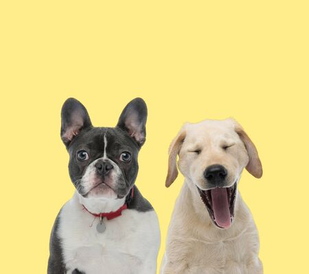 french bulldog dog wearing red leash next to a labrador retriever dog yawning tired on yellow background