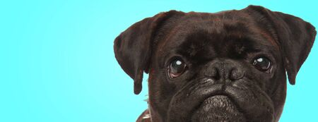 funny face of a grumpy boxer dog, closeup picture on blue background