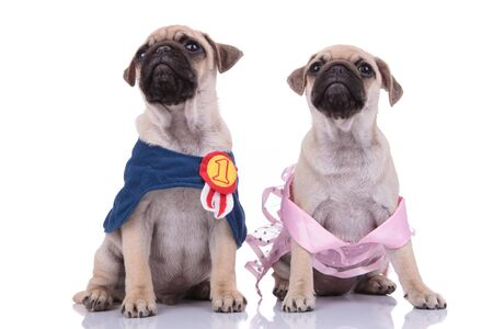 couple of two pugs wearing cosumes and looking up on white background