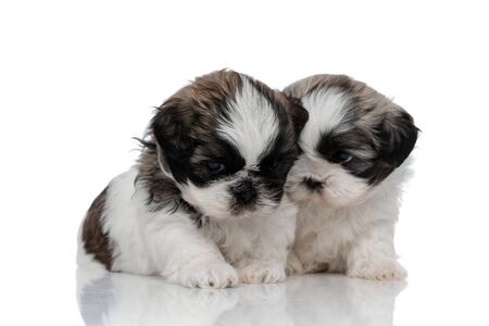 Frowning Shih Tzu looking away next to his shy sibling while sitting on white studio background