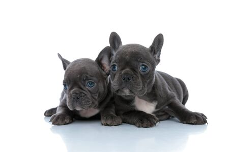 Two eager French bulldog cubs curiously looking away while laying down side by side on white studio background