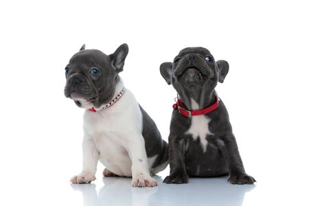 Two positive French bulldog cubs smiling and being cheerful while sitting side by side on white studio background, wearing red collars
