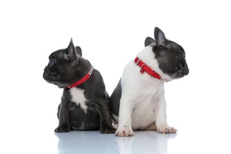Eager French bulldog cubs looking to the side while and sitting side by side on white studio background, wearing red collars