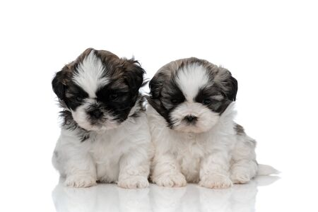Shy Shih Tzu cubs looking forward with puppy eyes while sitting on white studio background