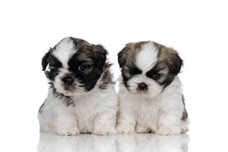 Concerned Shih Tzu cubs looking forward and thinking while sitting on white studio background Stock Photo