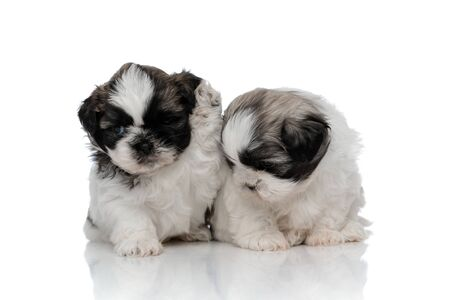 Shih Tzu cub raising his paw next to his sibling that is looking down while sitting on white studio background