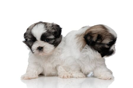 Shy Shih Tzu puppies curiously looking around while sitting on white studio background Stock Photo