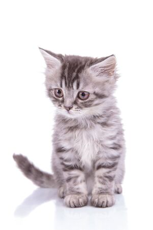 Eager British Shorthair cub looking away and stalking while sitting on white studio background Archivio Fotografico