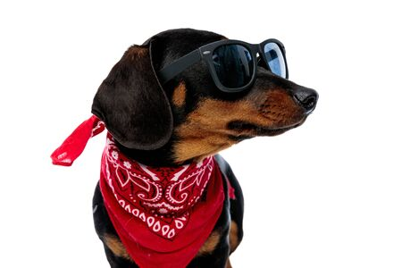 Eager Teckel puppy looking to the side while wearing red bandana and sunglasses, standing on white studio background