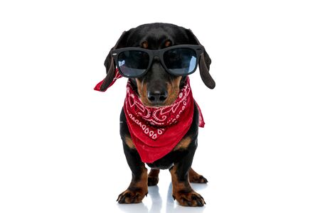 Cool Teckel puppy wearing red bandana and sunglasses, standing on white studio background Banque d'images