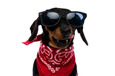 Tough Teckel puppy growling and licking its mouth while wearing red bandana and sunglasses, standing on white studio background