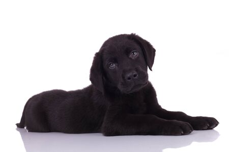 cute baby labrador retriever laying down and looking to side isolated on white background