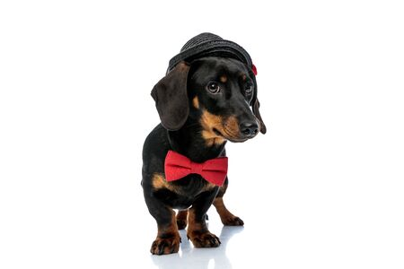 Shy Teckel puppy wearing bowtie and hat, standing on white studio background