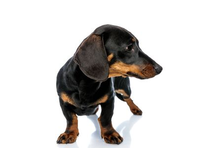 Upset Teckel puppy looking to the side while standing on white studio background