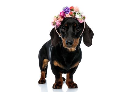 Adorable Teckel puppy looking forward and wearing a flower headband while standing on white studio background