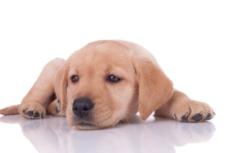 adorable baby labrador retriever laying down and looking to side, dreaming isolated on white background