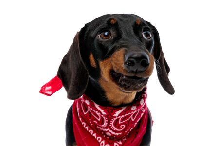 Upset Teckel puppy frowning and wearing red bandana while standing on white studio background