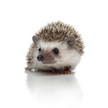 adorable african hedgehog with spiky fur sitting and looking away distracted on white studio background Banque d'images