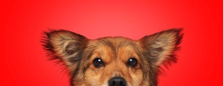 close up of a sweet metis dog with brown fur hiding while looking at camera shy on red studio background