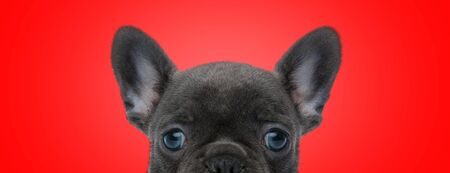 close up of an adorable french bulldog dog with black fur posing shy at camera on red studio background