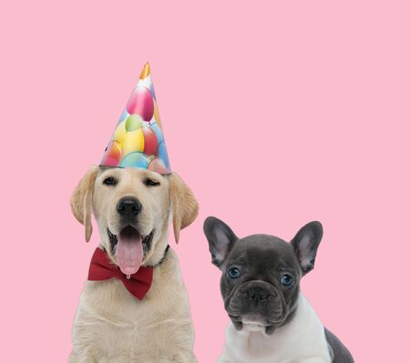 team of labrador retriever wearing birthday hat and bowtie and french bulldog on pink background Banque d'images