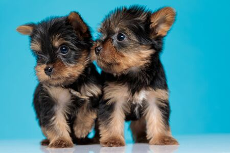 cute couple of yorkshire terrier looking to side and walking on blue background Stok Fotoğraf