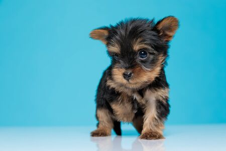 adorable yorkshire terrier looking to side and walking on blue background