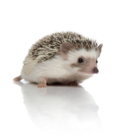Curious hedgehog walking and listening on white studio background Stock Photo