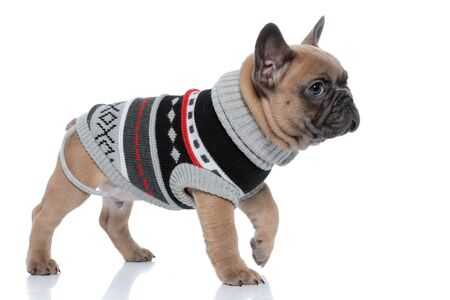 side view of cute french bulldog wearing costume and walking isolated on white background Standard-Bild