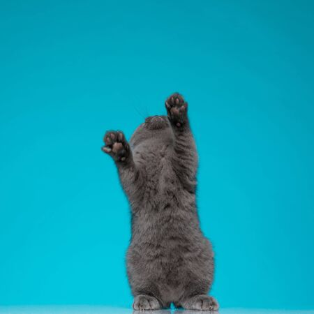 cute scotish fold pussycat reaching and standing up on blue background