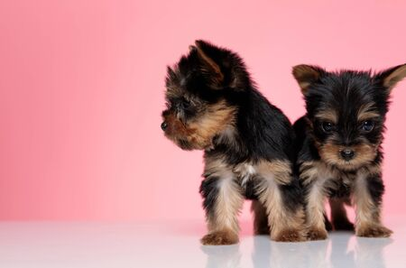 adorable couple of yorkshire terrier looking to side and standing isolated on white background Stok Fotoğraf
