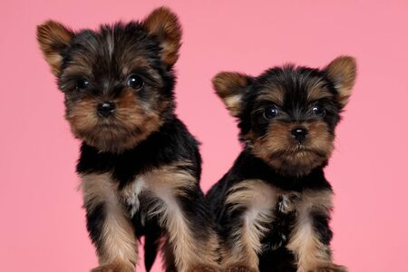 cute couple of yorkshire terrier looking to side and walking on pink background