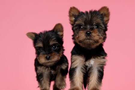 adorable couple of yorkshire terrier looking up and walking on pink background Stok Fotoğraf - 143504476