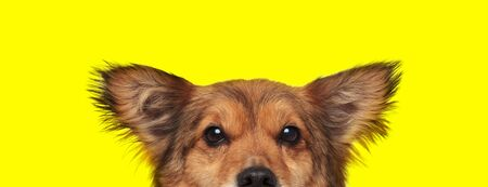 close up of a metis dog with brown fur hiding his face from camera shy on yellow studio background Stock Photo