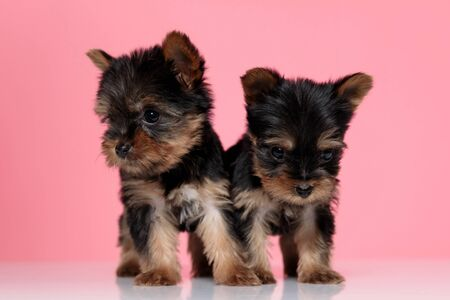 cute couple of yorkshire terrier looking to side and walking pink background Stok Fotoğraf