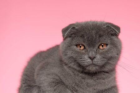 cute scotish fold kitten laying down on pink background 版權商用圖片