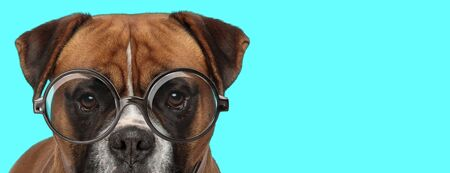 adorable nerdy Boxer dog hiding his face from camera, wearing eyeglasses and standing on blue background